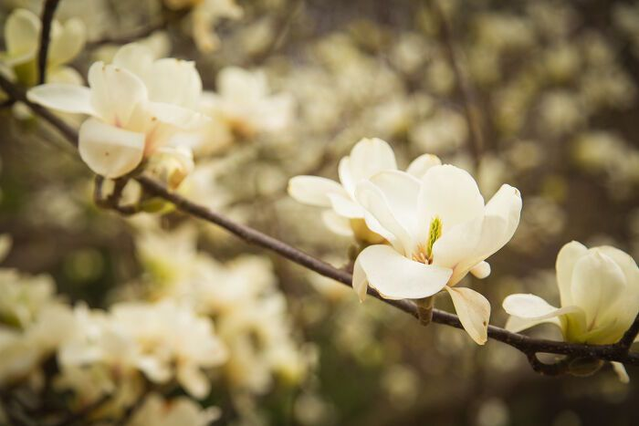 Magnolia Flower Meaning Flower Meanings Sun Tattoo Meaning Smelling Flowers