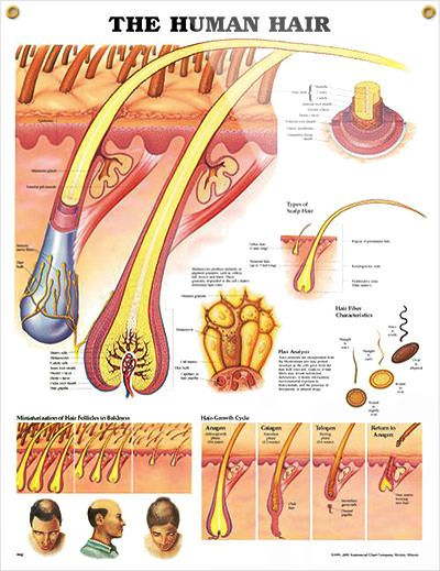 the human hair anatomy poster shows detailed anatomical view of scalp and  hair within the skin extending to the hair shaft