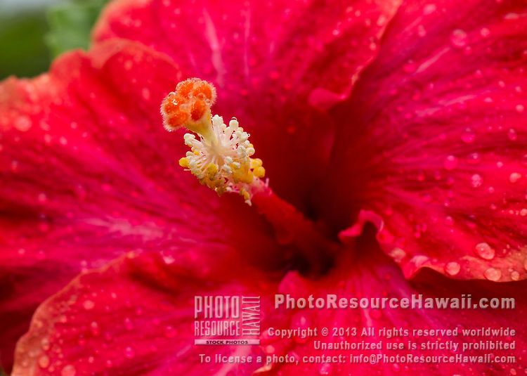 A Closeup Of A Beautiful Hibiscus Flower With Water Droplets Flowers Hibiscus Flowers Tropical Flowers