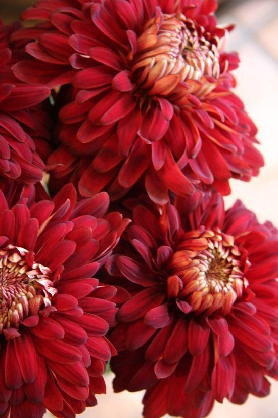 thepaintedbench:  Red Chrysanthemums
