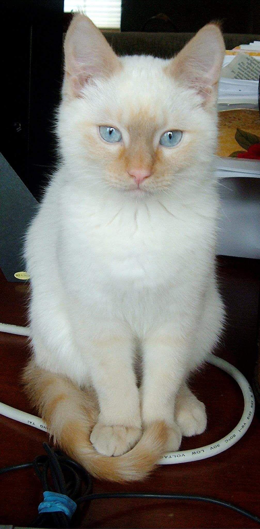 Lord Maximus As A Kitten Kittens Cutest Beautiful Kittens Beautiful Cats