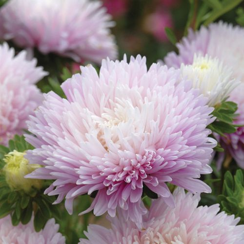 Pin On Flowers To Grow In Idaho