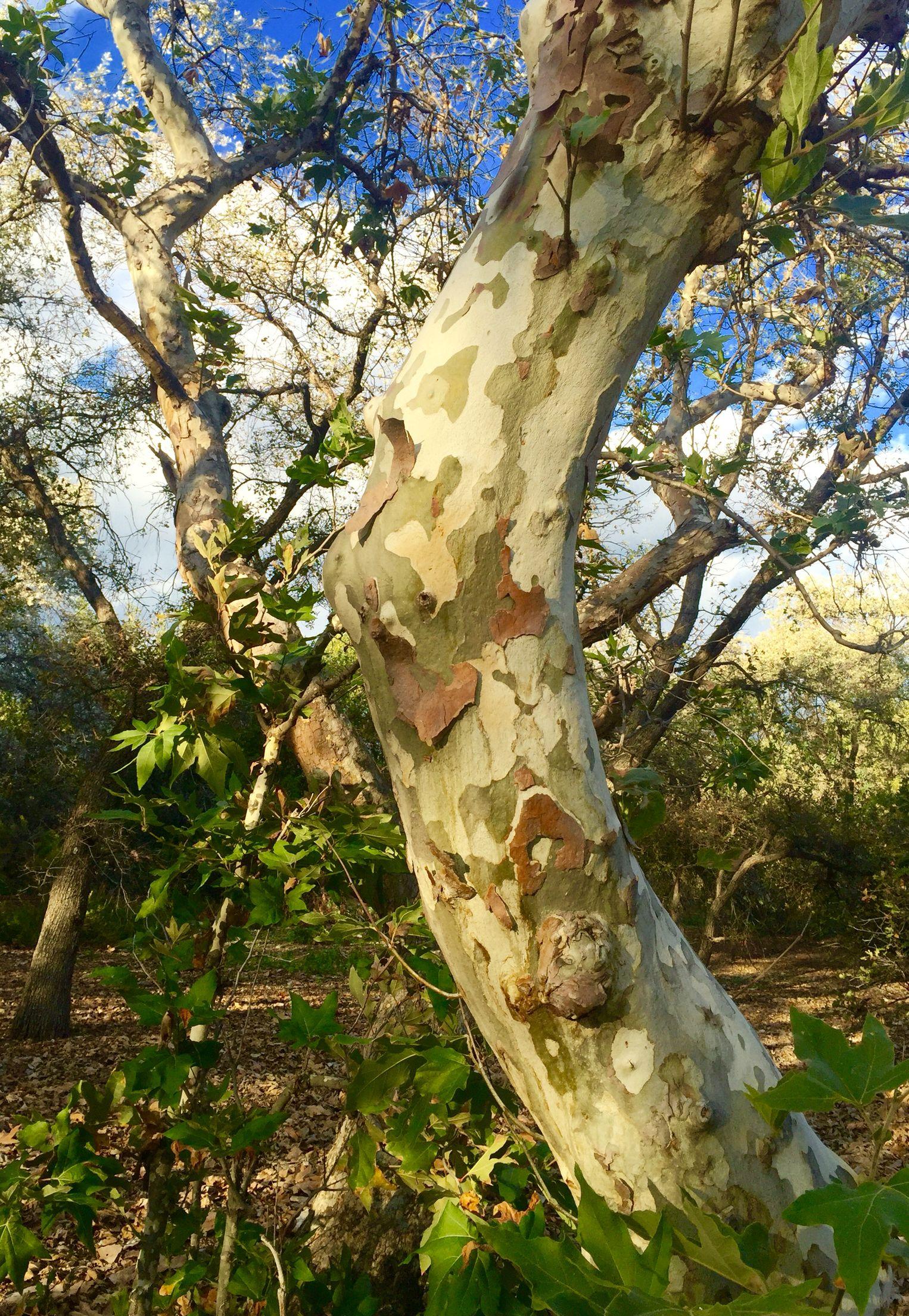 Rancho Santa Ana Botanic Gardens, Claremont CA. Sycamore Tree I Think.