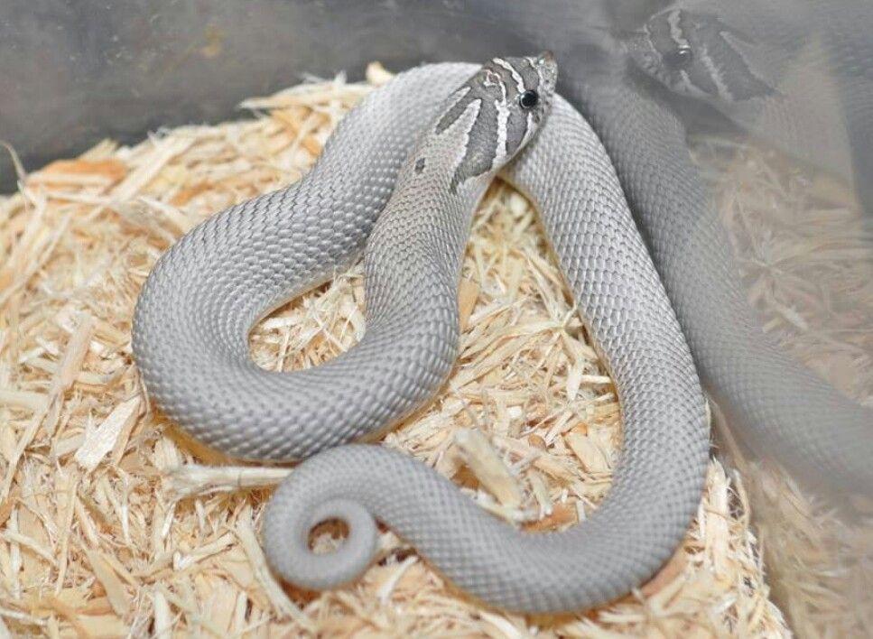 Axanthic Superconda Western Hognose Pet Snake Cute Snake Cute Reptiles