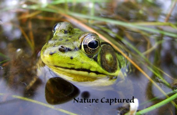 frog photo close up frog nature photography 8X10 by lisabones, $20.00