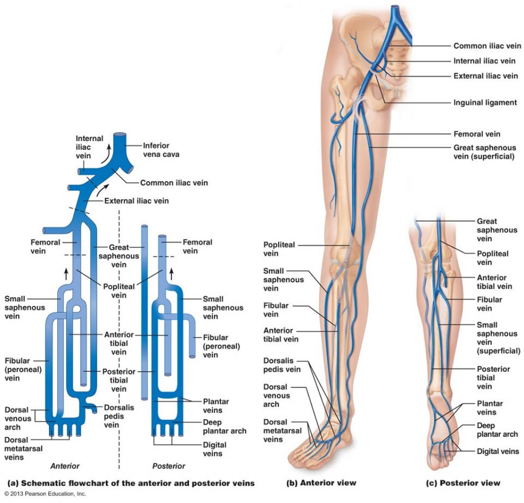 Image Result For Flow Chart Of Arteries Lower Limb