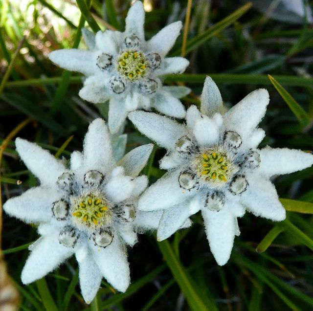 leontopodium alpinum edelweiss endangered species. Black Bedroom Furniture Sets. Home Design Ideas