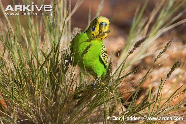 Budgerigar Photo Budgerigar Parakeet Bird Bird