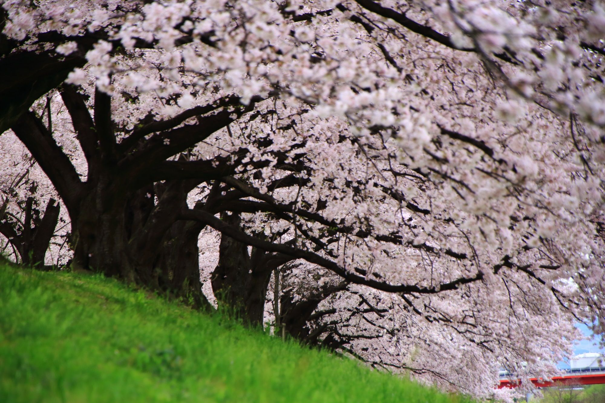 高畫質 寫真 背割堤 桜   植樹. 京都 桜