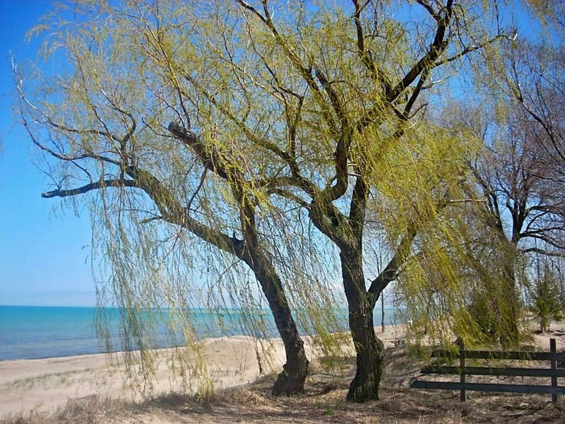 Spring Willow 5