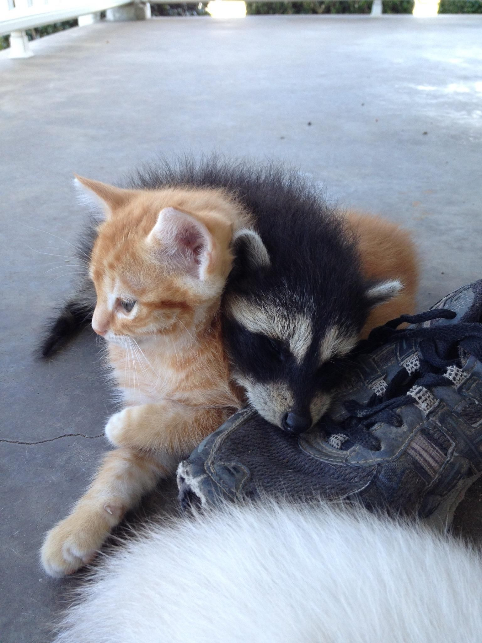 My Friends Cat Is Raising An Abandoned Raccoon With Its Kittens Cute Animals Animals Friends Animals Friendship