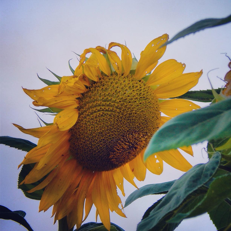 Beautiful Sunflower Going To Seed Pic Taken W My L820 Nikon Girasoles