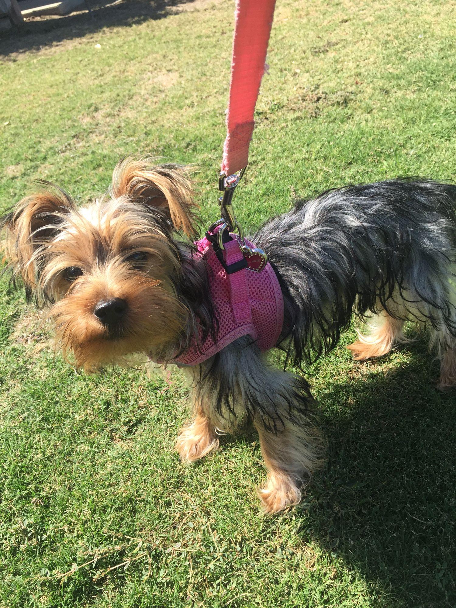 Minnie At 5 Months Yorkshire Terrier Yorkie Terrier
