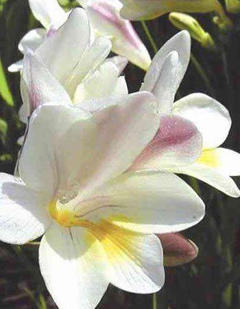 Plant The Best Spring Bulbs Freesia Flowers Fall Plants Beautiful Flowers