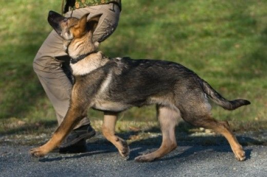Training A German Shepherd A 3 Part Plan German Shepherd