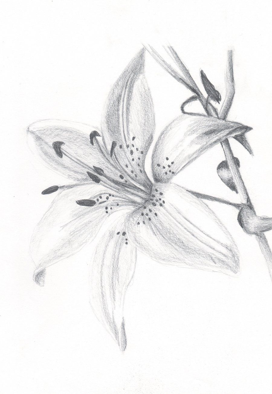 Realistic Lily Flower Drawing : realistic, flower, drawing, Flower, Drawings, Pictures, Lilies, Drawing,, Drawing, Tutorials