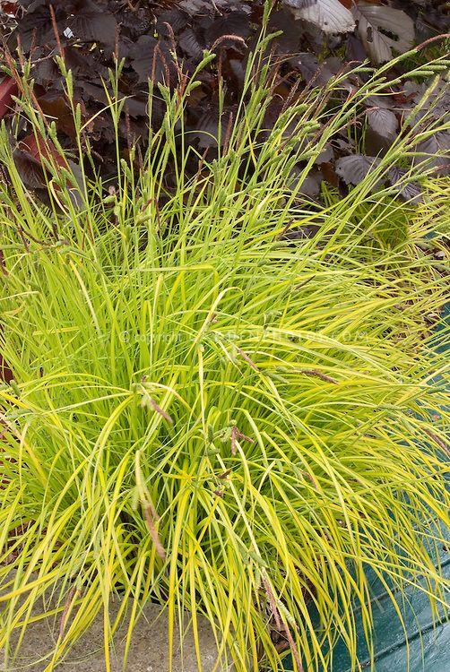 Carex elata \'Aurea\', yellow leaved sedge ornamental grass | Carex ...