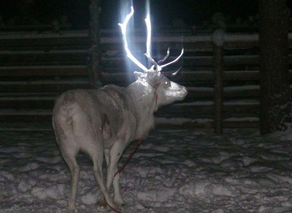 Pintar a los renos para salvar vidas (por la noche) La Asociación de Criadores de Renos de Finlandia, una organización dependiente del gobi...