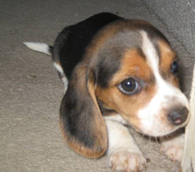 Awww Sweet Puppy Beagle Dog Breeder Pocket Beagle