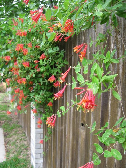The Best Types Of Honeysuckle Vines And How To Grow It In The Garden Gardening Home Decor Honeysuckle Plant Honeysuckle Vine Plants
