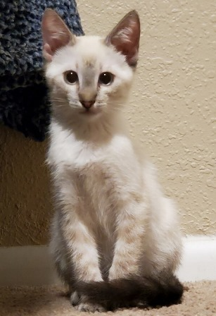 Cat For Adoption Oliver A Siamese In Mesa Az Petfinder In 2020 Cat Adoption Help Homeless Pets Homeless Pets