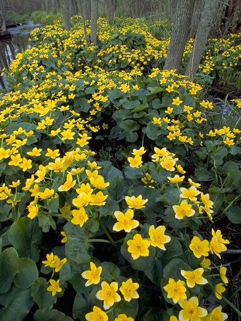 cowslip, yellow marsh-marigold - attracts butterflies. One of my favorites in spring