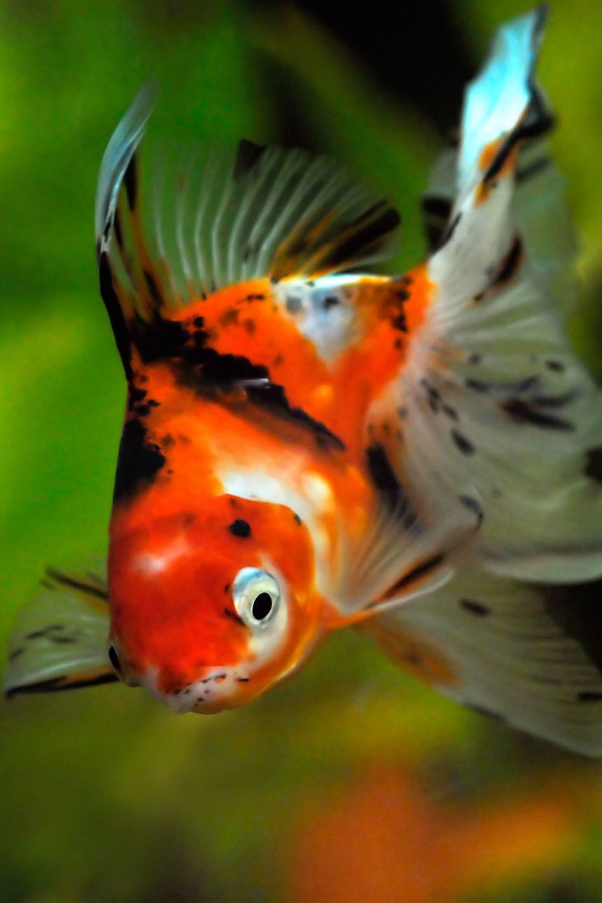 Goldfish for ponds goldfish the other pond fish for Outdoor goldfish for sale
