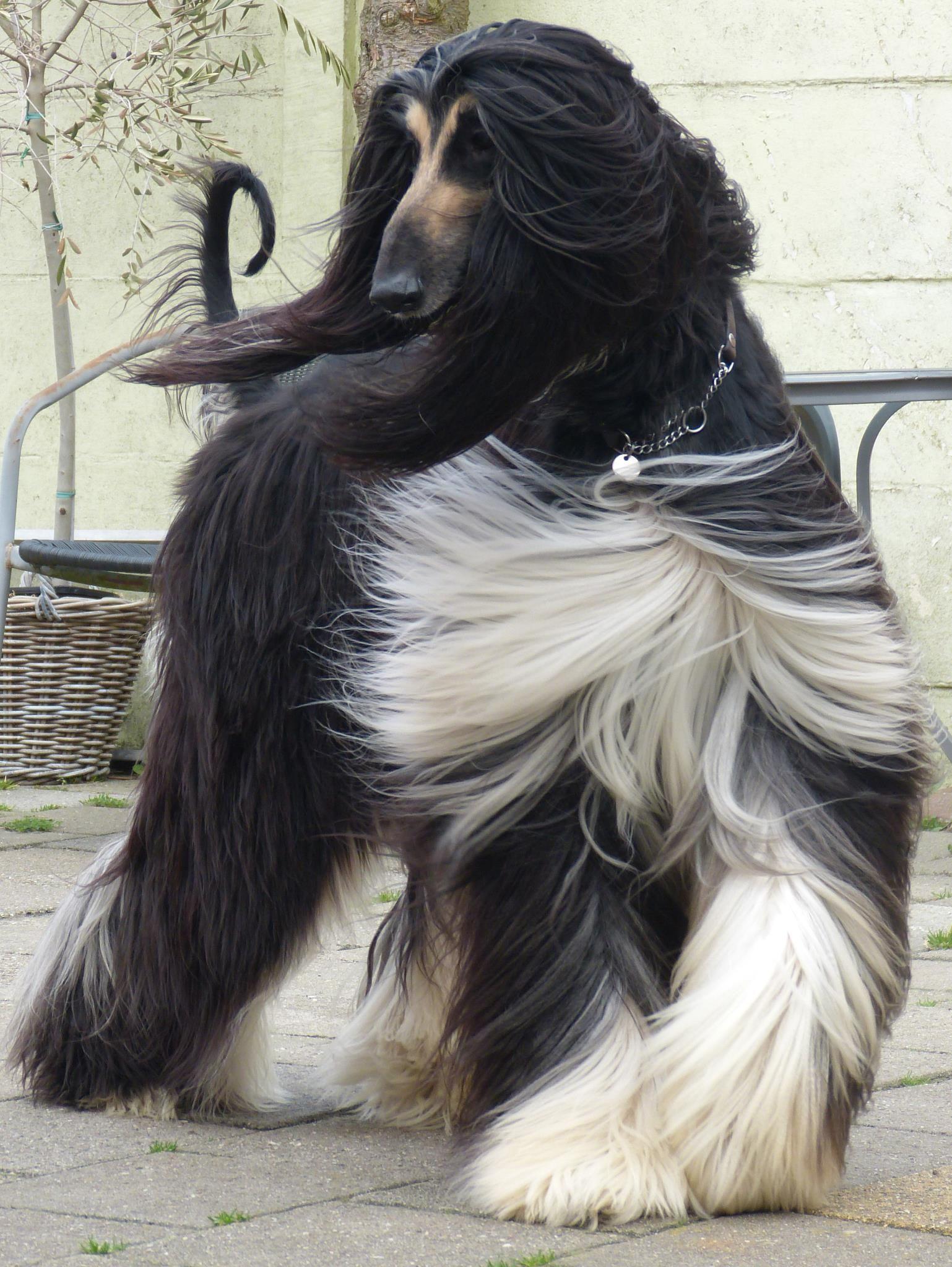Way Up Mr Mister Maestro Owned By Gonny De Niet Via Facebook Windhund Windhunde Hunde
