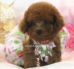 Malaysia Small Teacup Super Tiny Teacup Poodle Pretty Girl With
