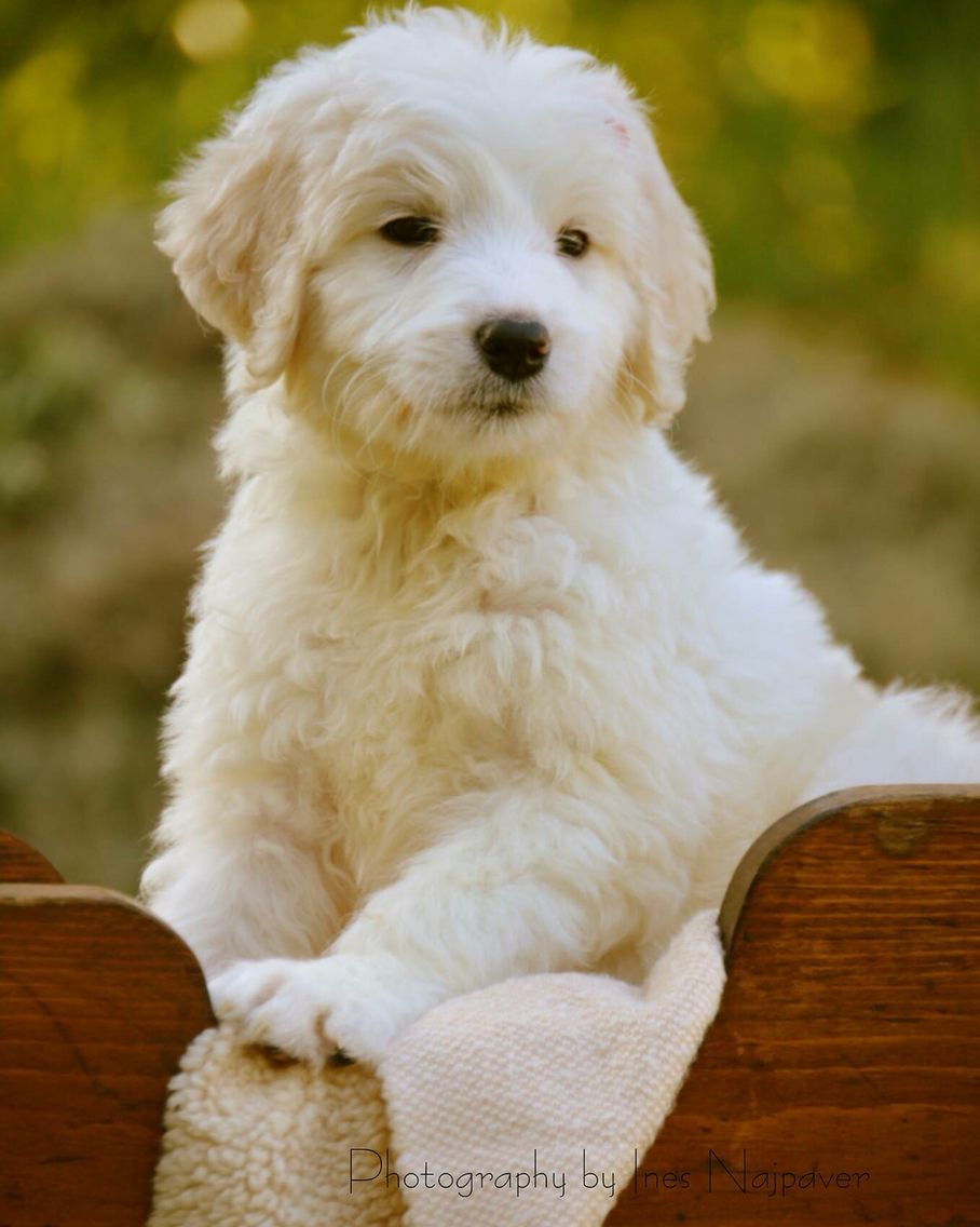 This Is A Female Pyredoodle The End Result Of A Great Pyrenees