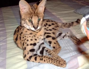 African Serval Savannah Cat Fluffy Cat Breeds Pretty Cats