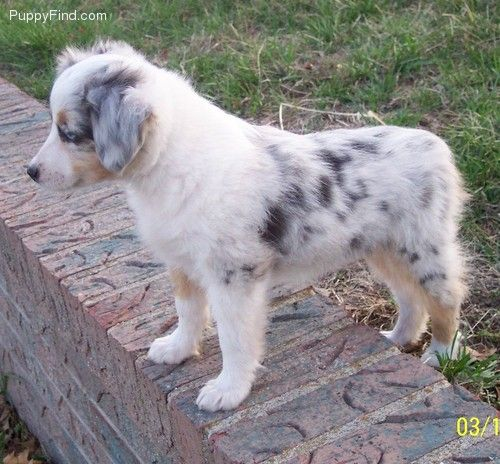 Toy Australian Shepherd Pictures H4p03f39d4h Toy Australian Shepherd Australian Shepherd Baby Dogs