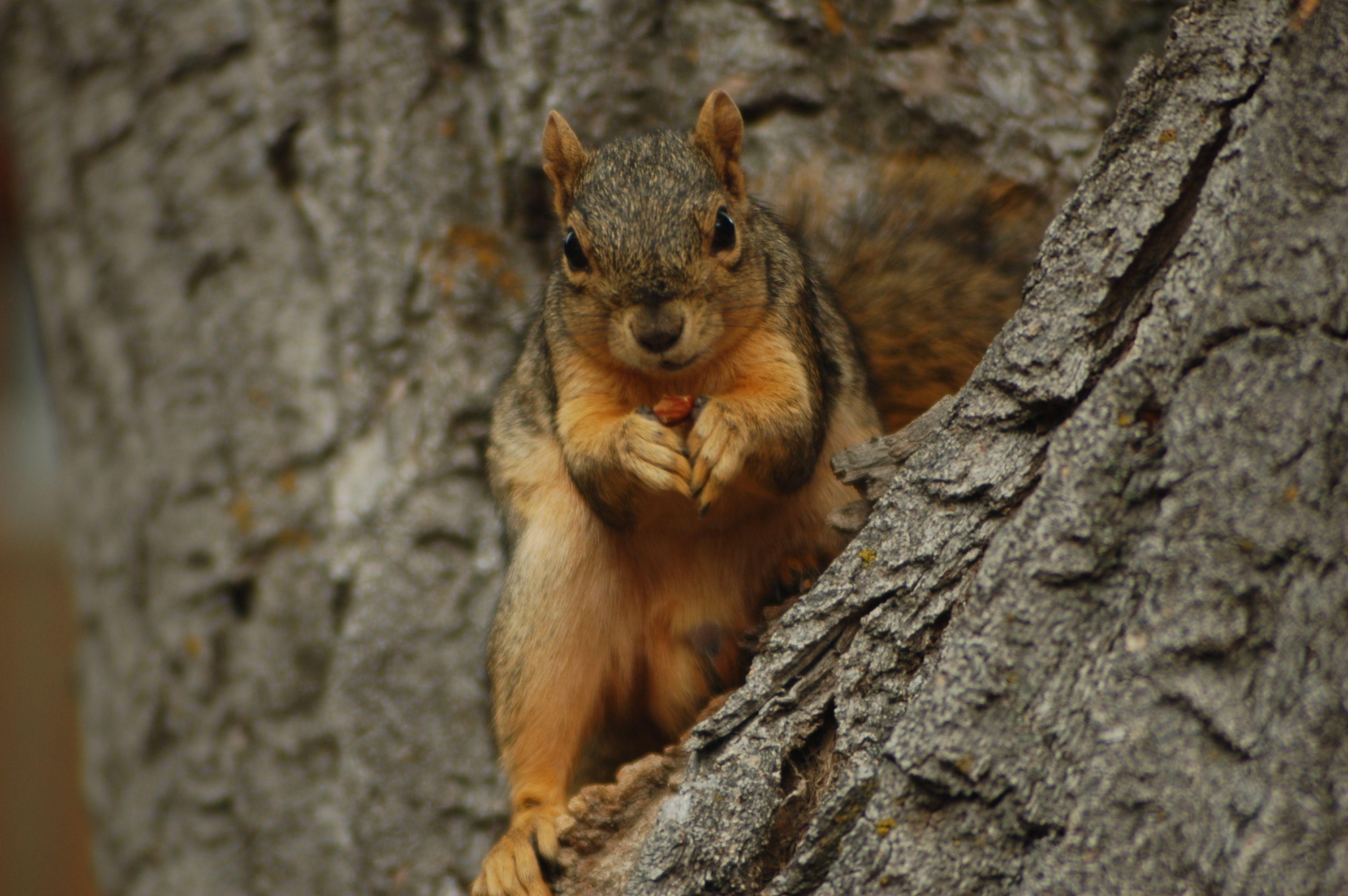 fox squirrel favorite food
