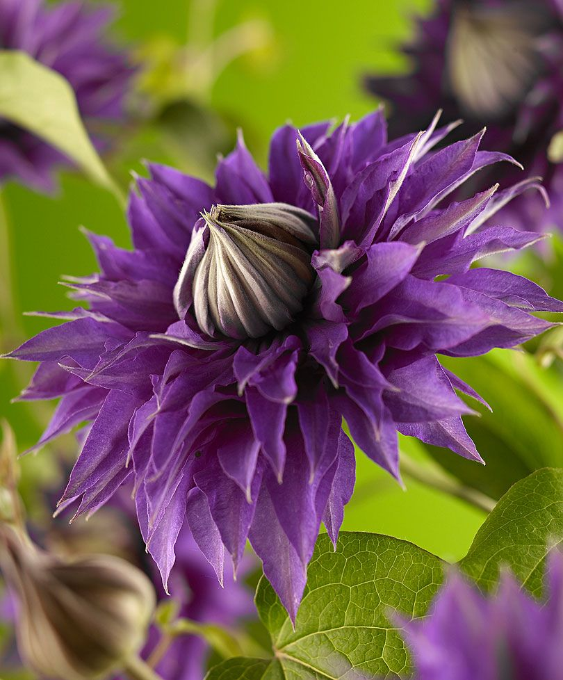 Clematis multi blue favorite flower fotos pinterest clematis