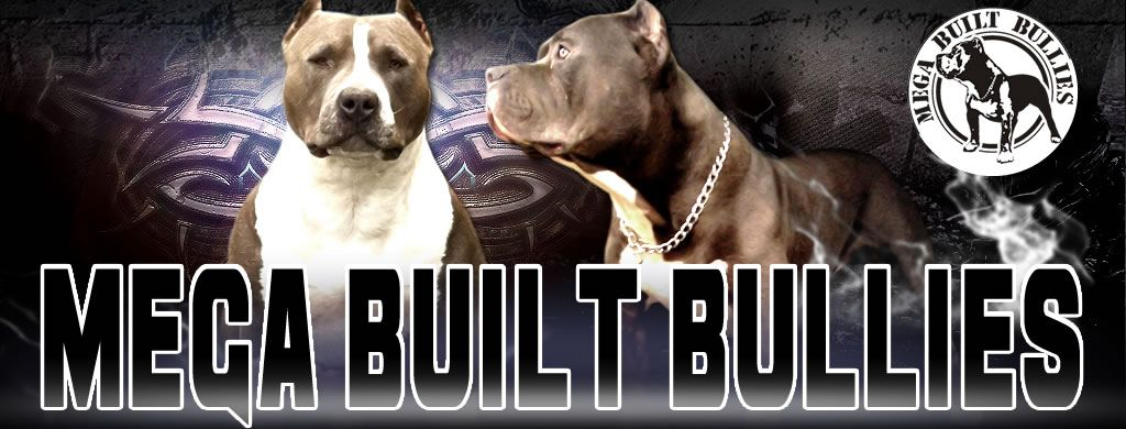 Mega Built Bullies Canada Bluenose Pitbulls Canada Xl Bullies