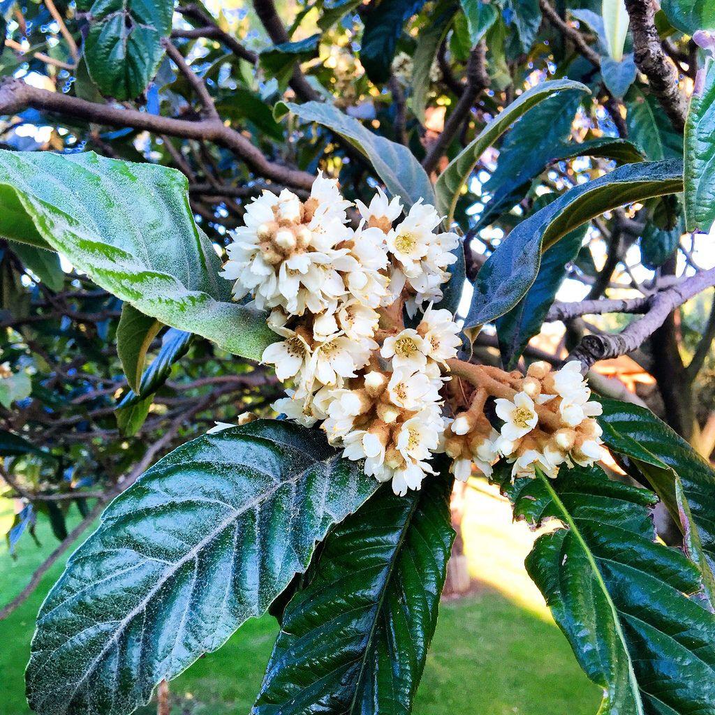 Il nespolo fiorisce in autunno....vorrei poteste sentirne il profumo ☺️☺️🍃🍁🍂🌳 #nespolo #nespoloinfiore #hiddencovegarden #medlartree