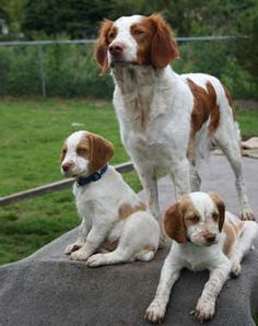 Mom And Puppies Spaniel Puppies Brittany Spaniel Puppies Spaniel Puppies For Sale