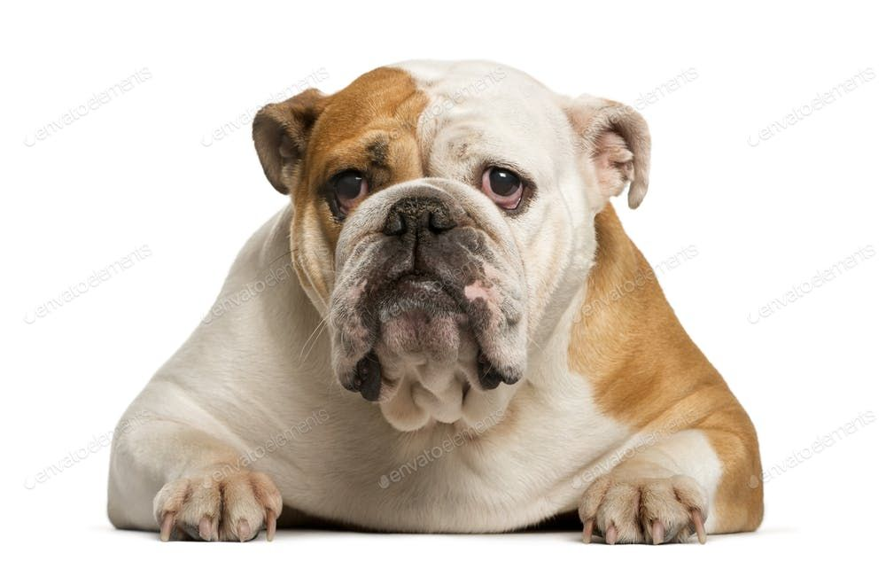 English bulldog lying in front of white background by