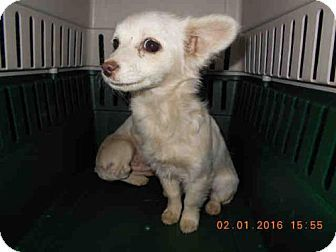 Oroville, CA - Chihuahua Mix. Meet A566468, a puppy for adoption. http://www.adoptapet.com/pet/15038066-oroville-california-chihuahua-mix