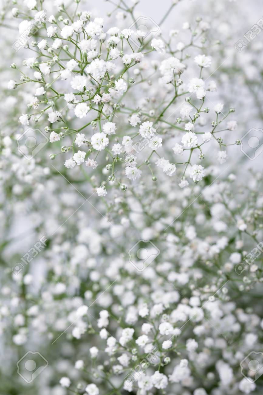 Close Up Of Little White Gypsophila Baby S Breath Flowers On In 2020 Babys Breath Babys Breath Flowers Flower Aesthetic