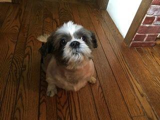 Shih Tzu dog for Adoption in Haymarket , VA. ADN653438 on