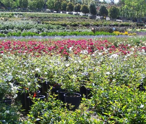 Oceanside Evergreen Nursery San Go S Largest Whole Open To The