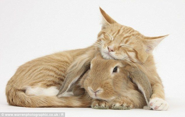 Friends: A sleepy ginger kitten relaxes with a sandy lionhead-lop rabbit in an adorable photo taken by Mark Taylor