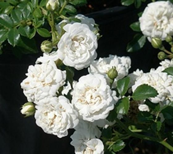 Icy White Drift® Groundcover Rose