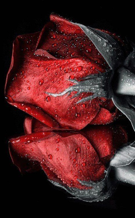Капельки | Красные розы, Красивые розы, Черные розы