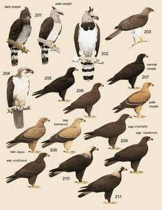 Handbook of the birds world plate volume also know your silhouettes  guide to hawks seen in north america rh pinterest