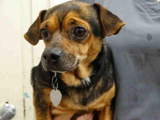 Chiweenie Dog For Adoption In Waco Tx Adn 483020 On Puppyfinder
