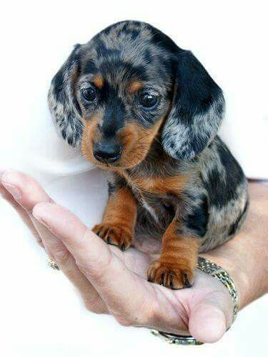 So Cute Baby Dachshund Cute Baby Animals Cute Animals