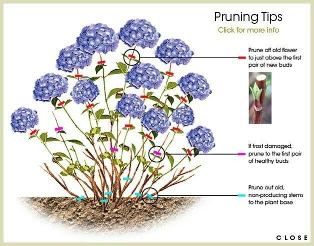 Hydrangea Deadhead Hydrangea Garden Plants Pruning Hydrangeas