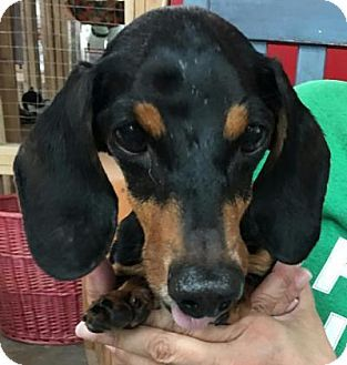 Centerville Ga Dachshund Mix Meet Boomer A Dog For Adoption